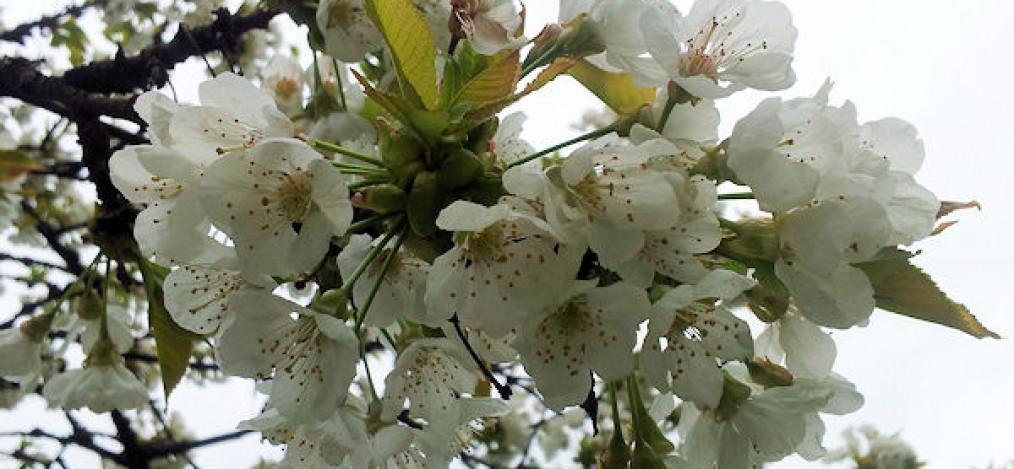 unterwegsunddaheim.de-kirschblüte1