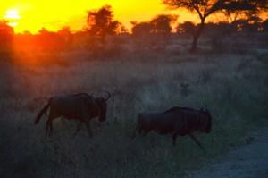 Die Große Tierwanderung durch die Serengeti in Tansania