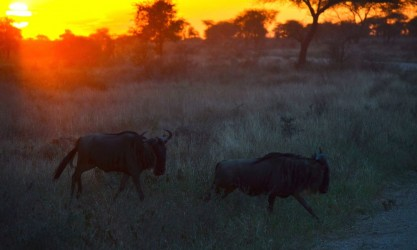 Dezember: Beginn der Regenzeit, die Gnus verlassen die Massai Mara in Kenia Januar: Die Gnus wandern in die südliche Serengeti nach Tansania um dort zu weiden Februar/März: Die Gnus bringen jetzt während der Regenzeit in Tansania ihre Jungen zur Welt März/April: Mit Einsetzen der Regenzeit, begeben sich die Gnus wieder auf ihre lange Reise Mai: Die Gnus sind im westlichen Teil der Serengeti angekommen. Sie wandern von den Naabi-Hügeln und folgen dem Mbalageti-Fluss zum Grumeti Fluss. Juni/Juli: Die Regenzeit endet, die Trockenzeit beginnt. Die Gnus halten sich in der Region des Grumeti Flusses auf. Diesen müssen sie überqueren und hier warten viele Gefahren auf sie, v.a. durch Krokodile, die sich auf ein reichliches Mahl freuen. August/September: Die Gnus wandern immer weiter Richtung Norden und kommen im September in der Massai Mara in Kenia an. September/Oktober: Die Gnus weiden in den saftigen Gebieten und ruhen sich von der Wanderung aus. November: Die Rückreise der Gnus in die südliche Serengeti beginnt mit Einsetzen der Regenzeit in Kenia.