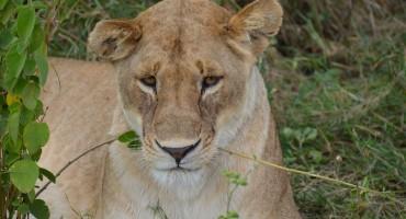 Safari in der Serengeti Nationalpark - Löwen