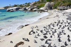 Boulders Beach Südafrika Kapstadt