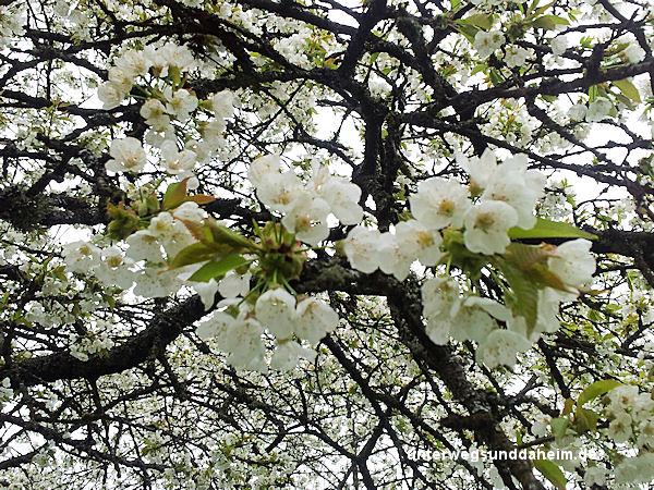 unterwegsunddaheim.de-kirschblüte2