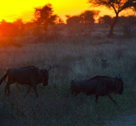 Große Tierwanderung Serengeti