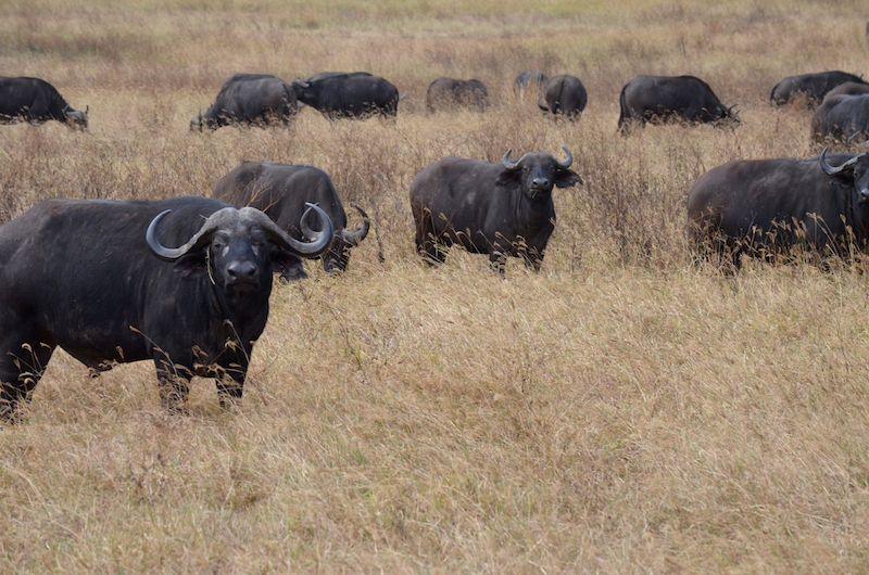 Safari im Ngorongoro Krater Tansania