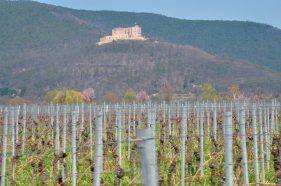 Mandelblüte in der Pfalz - Hambacher Schloss