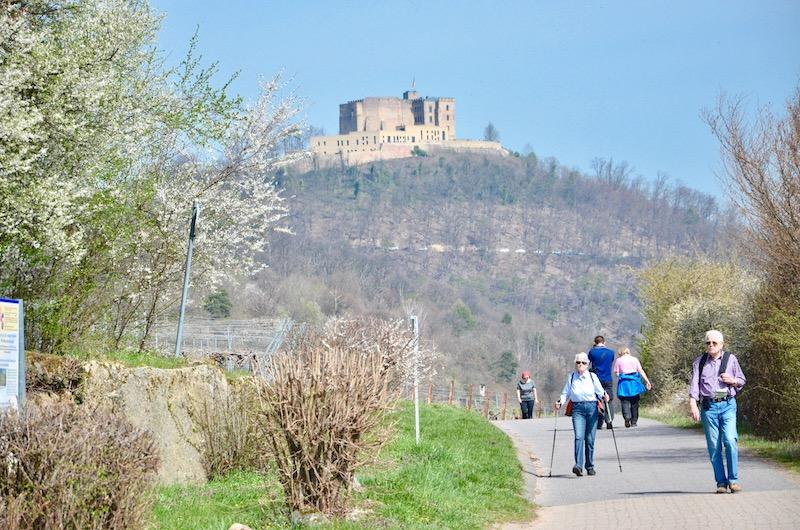 Mandelblüte in der Pfalz - Maikammer