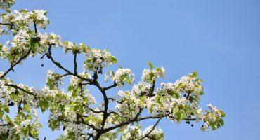 Kirschblüten Wanderung von Frauenstein zu Schloss Biebrich