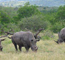 Safari im Hluhluwe-iMfolozi-Park in Südafrika