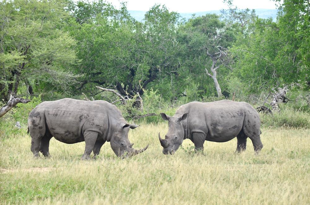 Safari im Krüger Nationalpark Südafrika